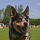 Australian Cattle Dog. In a nutshell: Smooth coated, medium-sized, energetic dog, easy to train with strong working instincts.