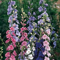 Pink, lavender, violet and white. Easily grown border annuals often used in summer arrangements. Slender stems of flowers in beautiful blending colours. Attracts butterflies.
